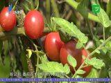 民生档案 系列专题片《春华秋实》:火红番茄 2020-08-04