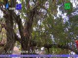 民生档案 系列专题片《春华秋实》:盛夏绿遮眼 紫薇红满城 2020-08-10